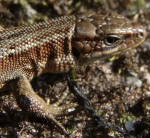 The common lizard
