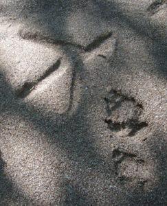 Heron and fox tracks
